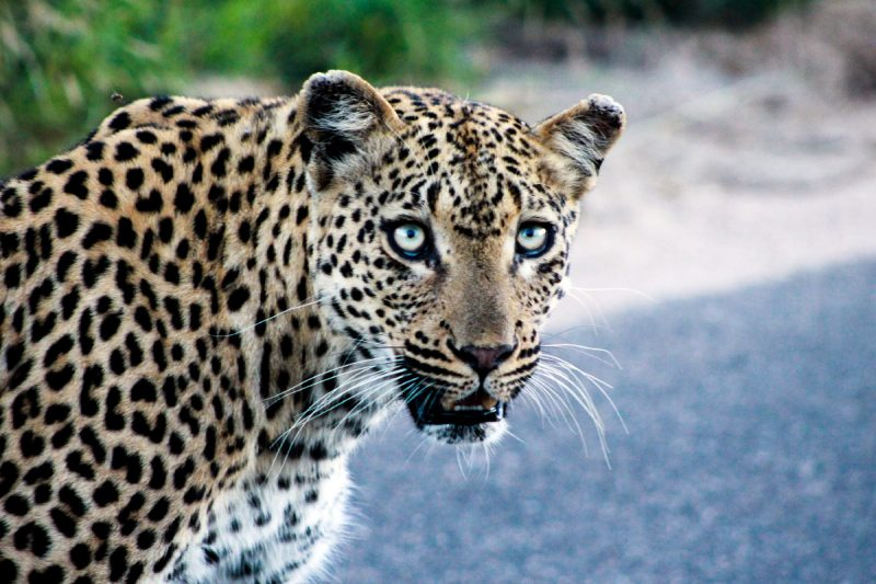 Leapard-3